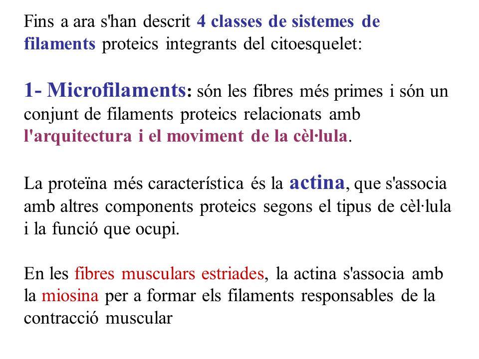 Fins a ara s'han descrit 4 classes de sistemes de filaments proteics integrants del citoesquelet: 1- Microfilaments : són les fibres més primes i són