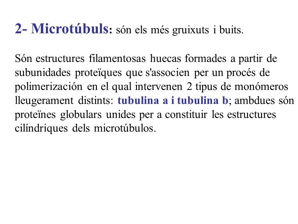 2- Microtúbuls : són els més gruixuts i buits. Són estructures filamentosas huecas formades a partir de subunidades proteïques que s'associen per un p