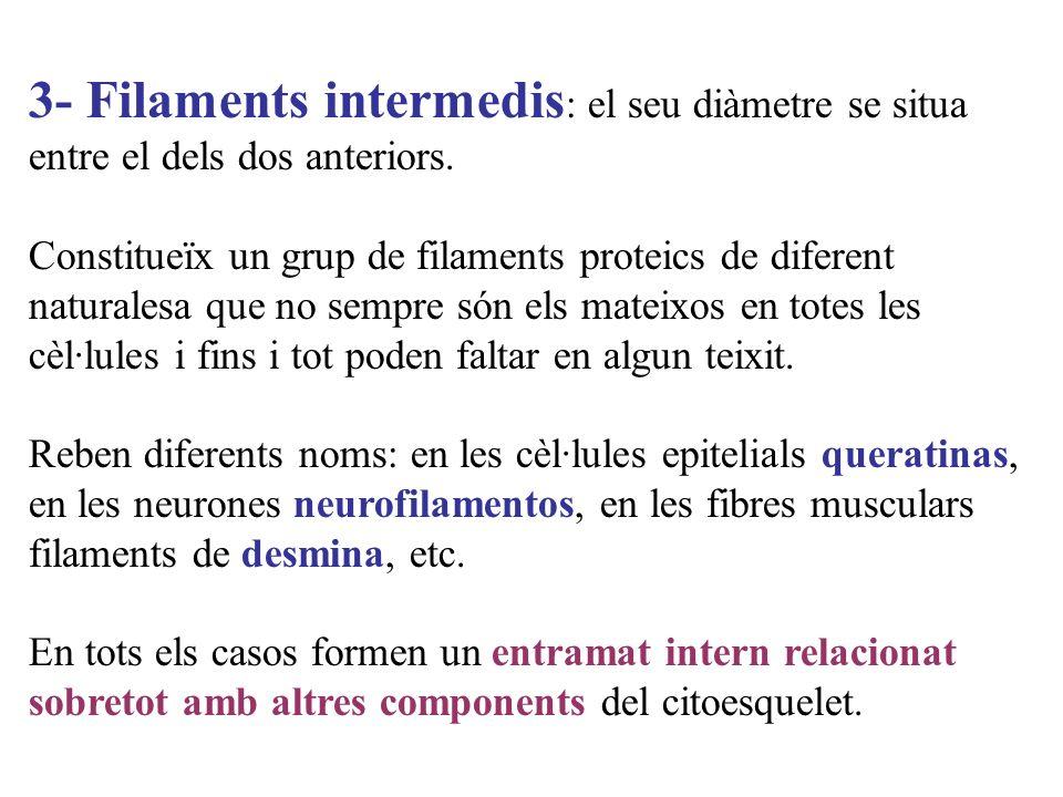 3- Filaments intermedis : el seu diàmetre se situa entre el dels dos anteriors. Constitueïx un grup de filaments proteics de diferent naturalesa que n