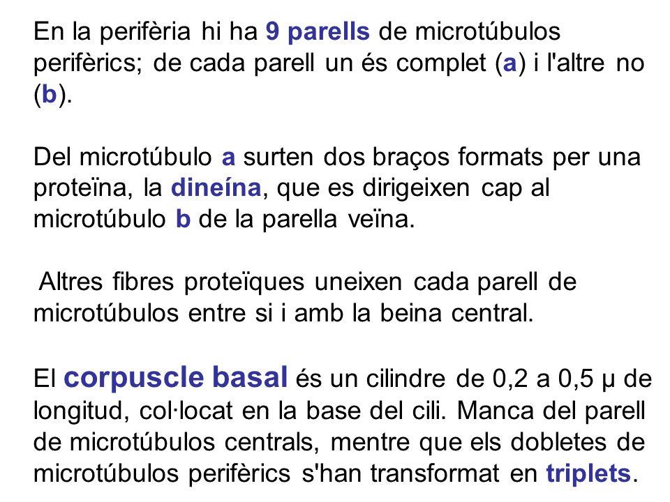En la perifèria hi ha 9 parells de microtúbulos perifèrics; de cada parell un és complet (a) i l'altre no (b). Del microtúbulo a surten dos braços for