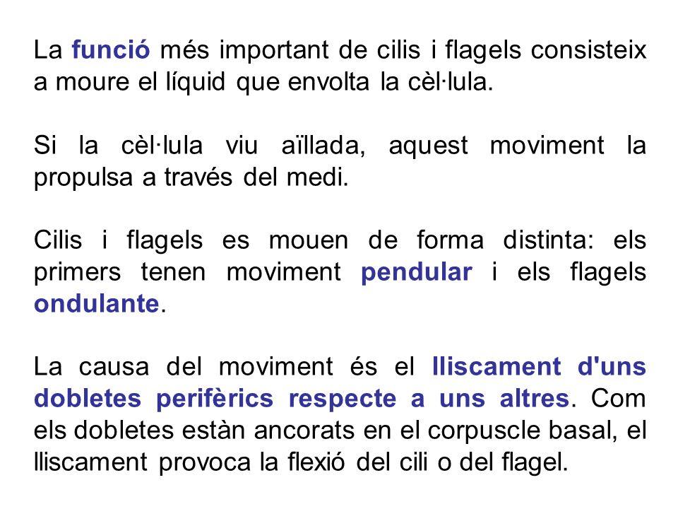 La funció més important de cilis i flagels consisteix a moure el líquid que envolta la cèl·lula. Si la cèl·lula viu aïllada, aquest moviment la propul