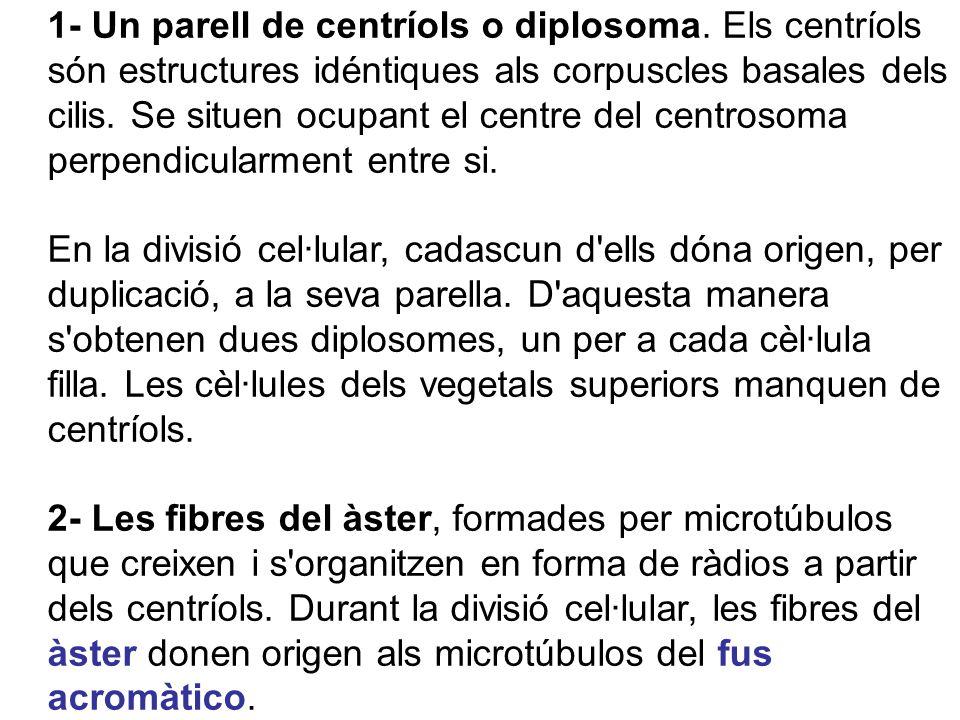 1- Un parell de centríols o diplosoma. Els centríols són estructures idéntiques als corpuscles basales dels cilis. Se situen ocupant el centre del cen