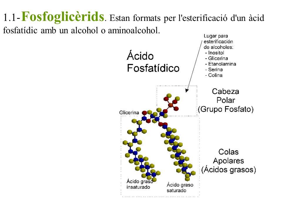1.1- Fosfoglicèrids. Estan formats per l'esterificació d'un àcid fosfatídic amb un alcohol o aminoalcohol.