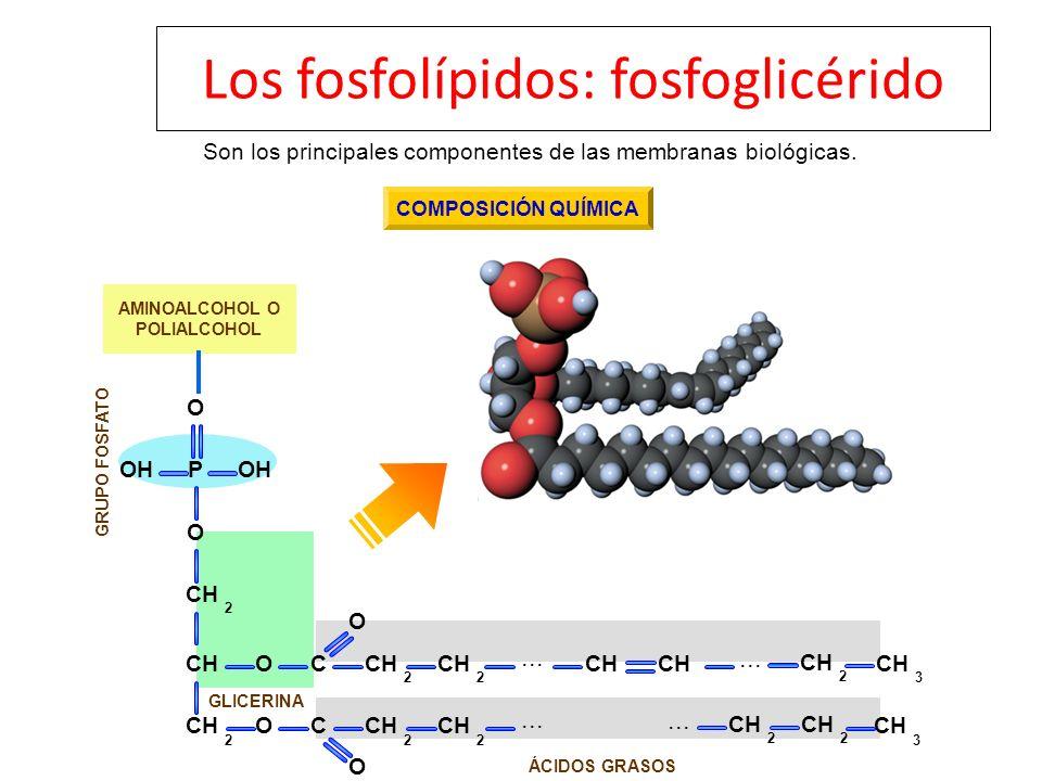 ÁCIDOS GRASOS GRUPO FOSFATO GLICERINA CHO O C 2 2 O O C O O POH CH 2 2 2 2 2 2 2 3... CH 3 Son los principales componentes de las membranas biológicas