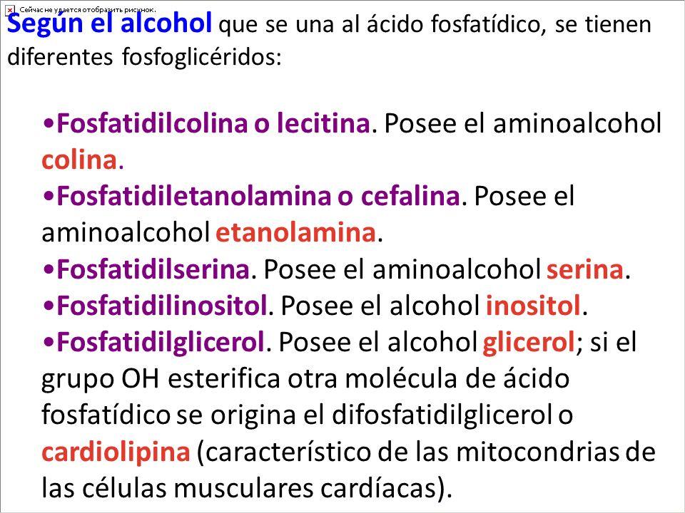 Según el alcohol que se una al ácido fosfatídico, se tienen diferentes fosfoglicéridos: Fosfatidilcolina o lecitina. Posee el aminoalcohol colina. Fos