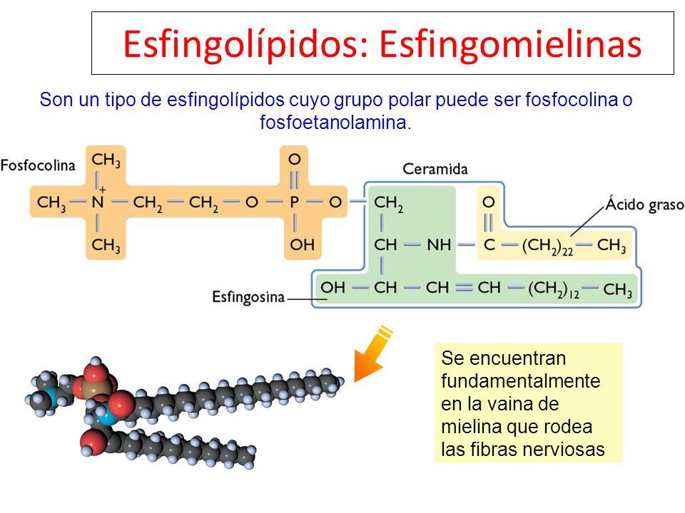 Esfingolípidos: Esfingomielinas Son un tipo de esfingolípidos cuyo grupo polar puede ser fosfocolina o fosfoetanolamina. Se encuentran fundamentalment