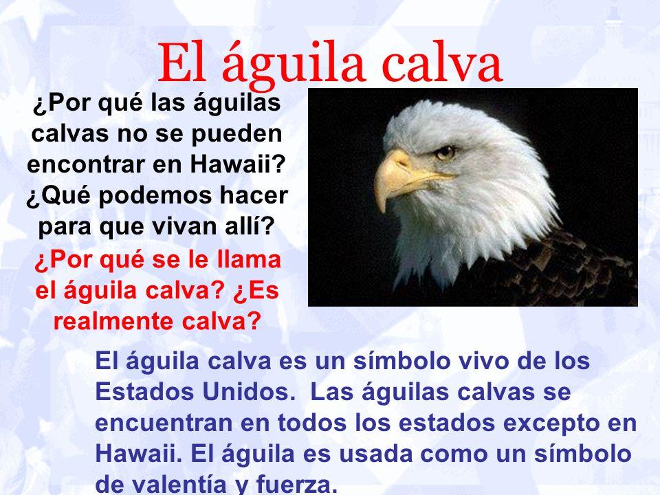 El águila calva El águila calva es un símbolo vivo de los Estados Unidos. Las águilas calvas se encuentran en todos los estados excepto en Hawaii. El