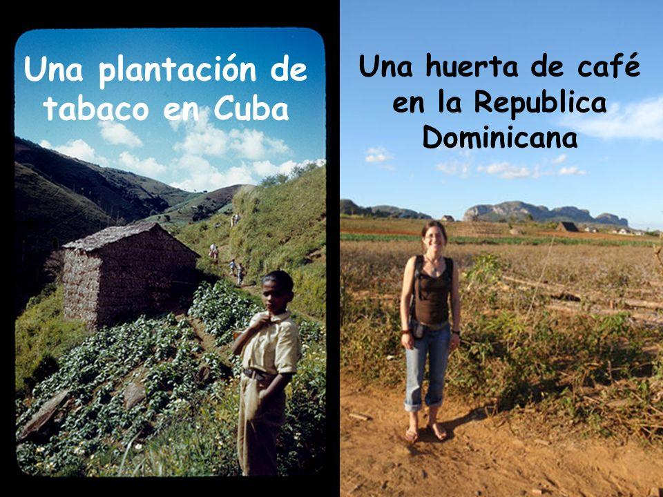 Una plantación de tabaco en Cuba Una huerta de café en la Republica Dominicana