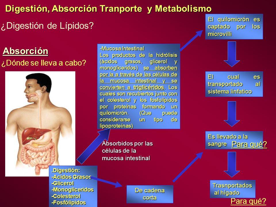 Digestión, Absorción Tranporte y Metabolismo ¿Digestión de Lípidos? Absorción.Digestión: -Acidos Grasos -Glicerol-Monogliceridos-Colesterol-Fosfólipid