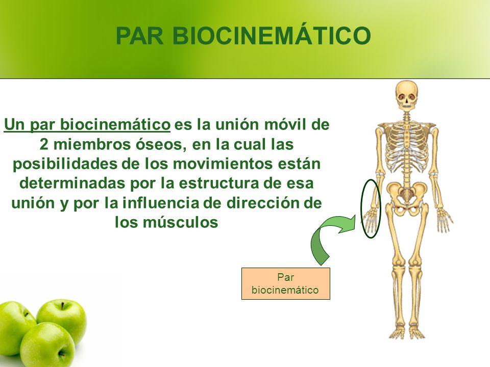 PAR BIOCINEMÁTICO Un par biocinemático es la unión móvil de 2 miembros óseos, en la cual las posibilidades de los movimientos están determinadas por l