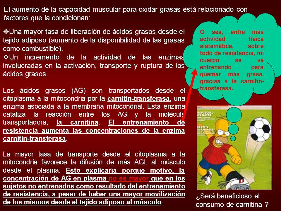 El aumento de la masa mitocondrial ……..