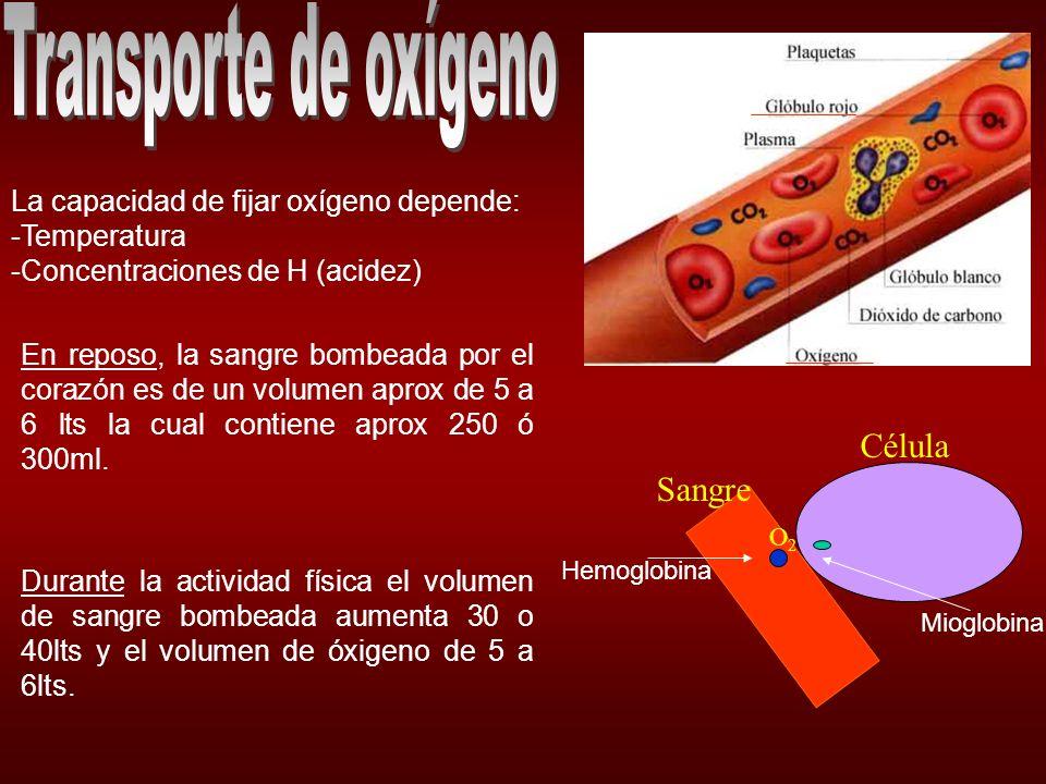 Al pasar del reposo a una actividad muscular intensa la necesidad de oxígeno crece.
