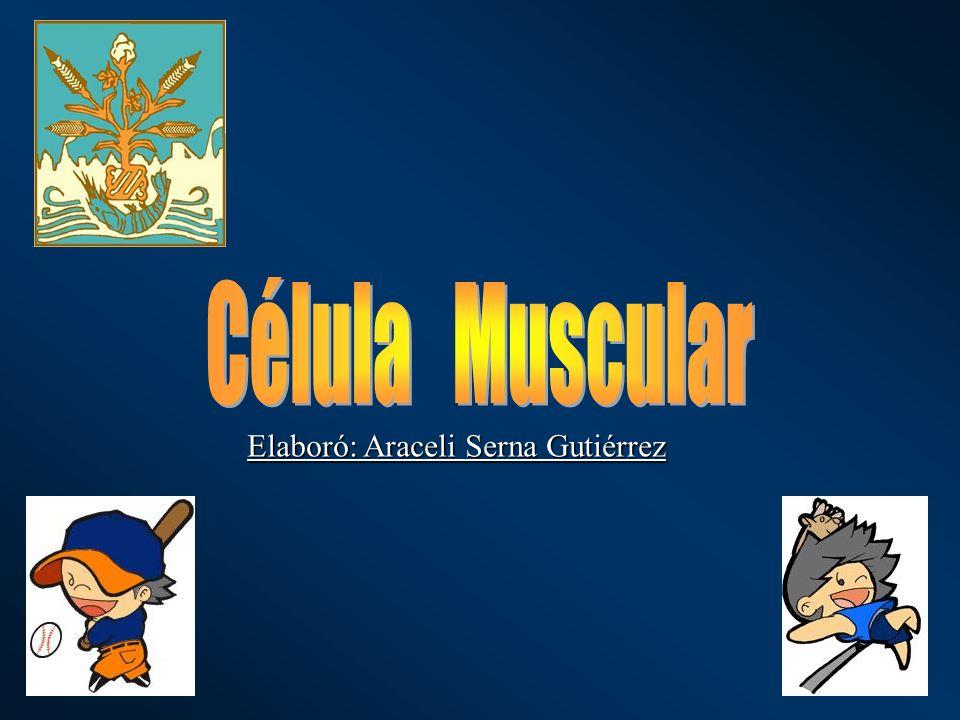 Célula Muscular Tejido muscular Se conocen tres variedades de musculos: los músculos lisos y dos variedades de músculos estriados, el cardíaco y el esquelético El tejido muscular es el responsable de los movimientos corporales.