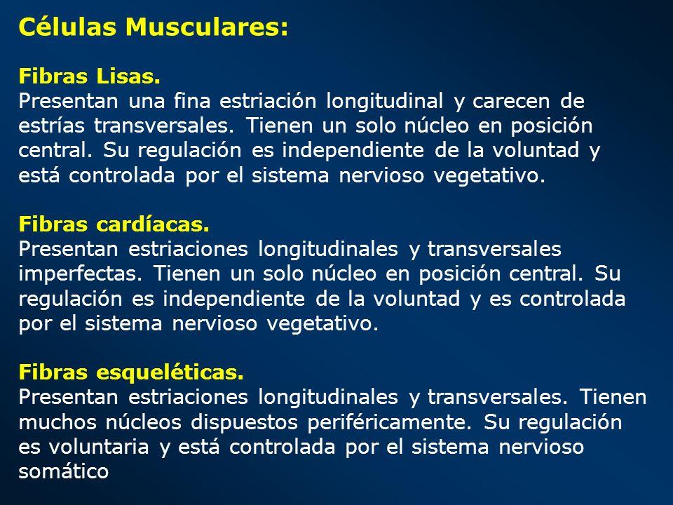Células Musculares: Fibras Lisas. Presentan una fina estriación longitudinal y carecen de estrías transversales. Tienen un solo núcleo en posición cen