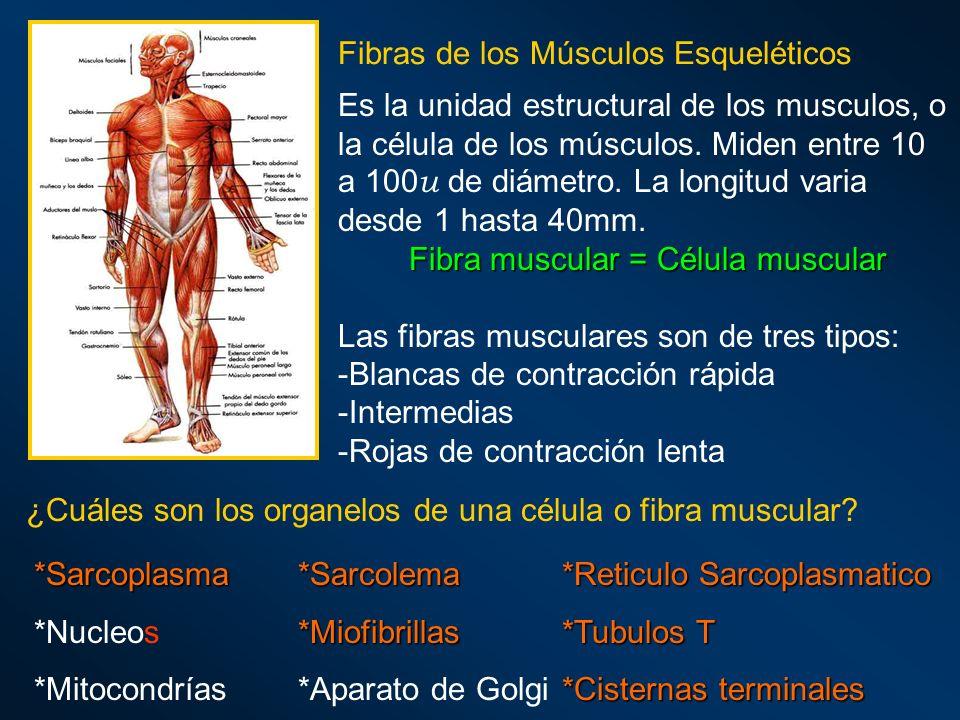 Fibras de los Músculos Esqueléticos Es la unidad estructural de los musculos, o la célula de los músculos. Miden entre 10 a 100 u de diámetro. La long