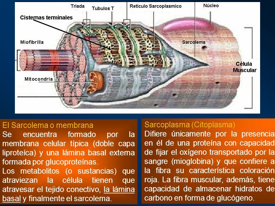 Sarcoplasma (Citoplasma) Difiere únicamente por la presencia en él de una proteína con capacidad de fijar el oxígeno transportado por la sangre (miogl