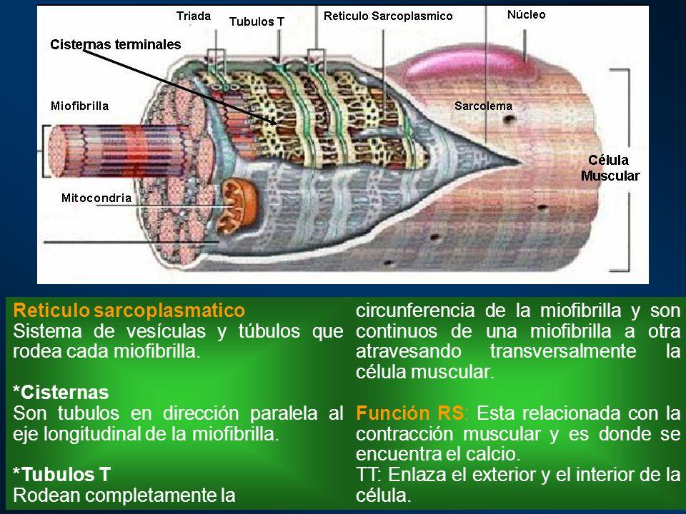 circunferencia de la miofibrilla y son continuos de una miofibrilla a otra atravesando transversalmente la célula muscular. Función RS: Esta relaciona