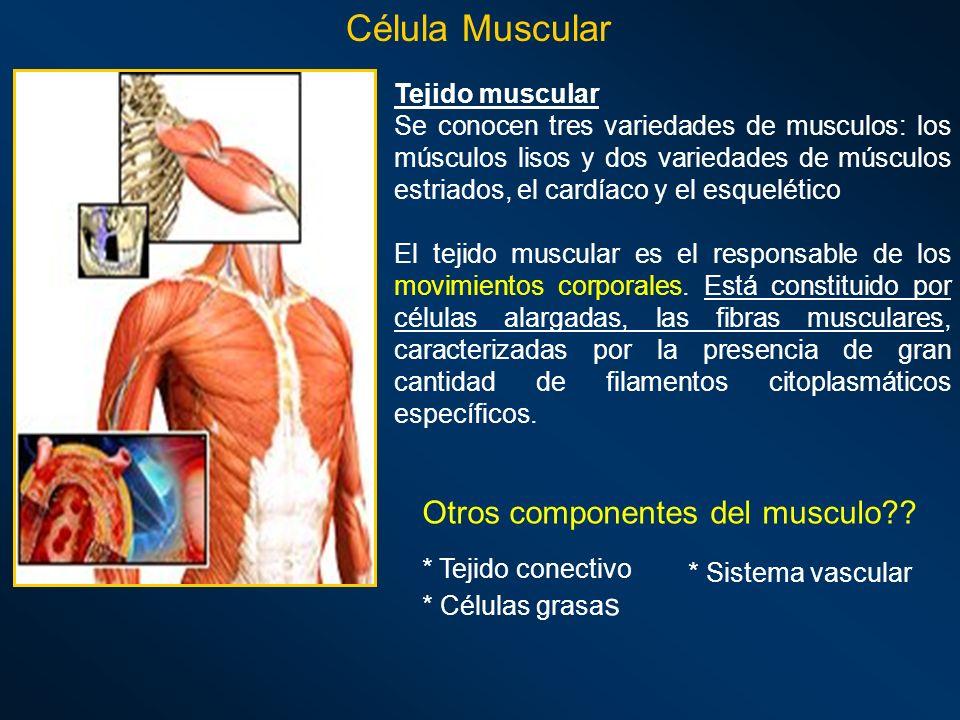 Célula Muscular Tejido muscular Se conocen tres variedades de musculos: los músculos lisos y dos variedades de músculos estriados, el cardíaco y el es