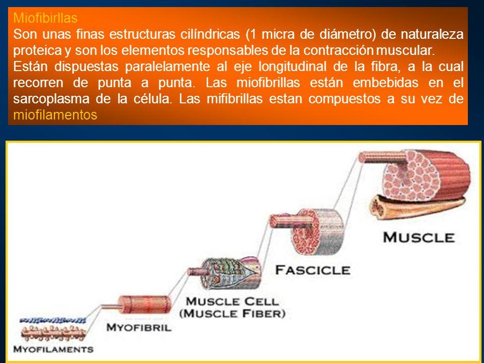Miofibirllas Son unas finas estructuras cilíndricas (1 micra de diámetro) de naturaleza proteica y son los elementos responsables de la contracción mu