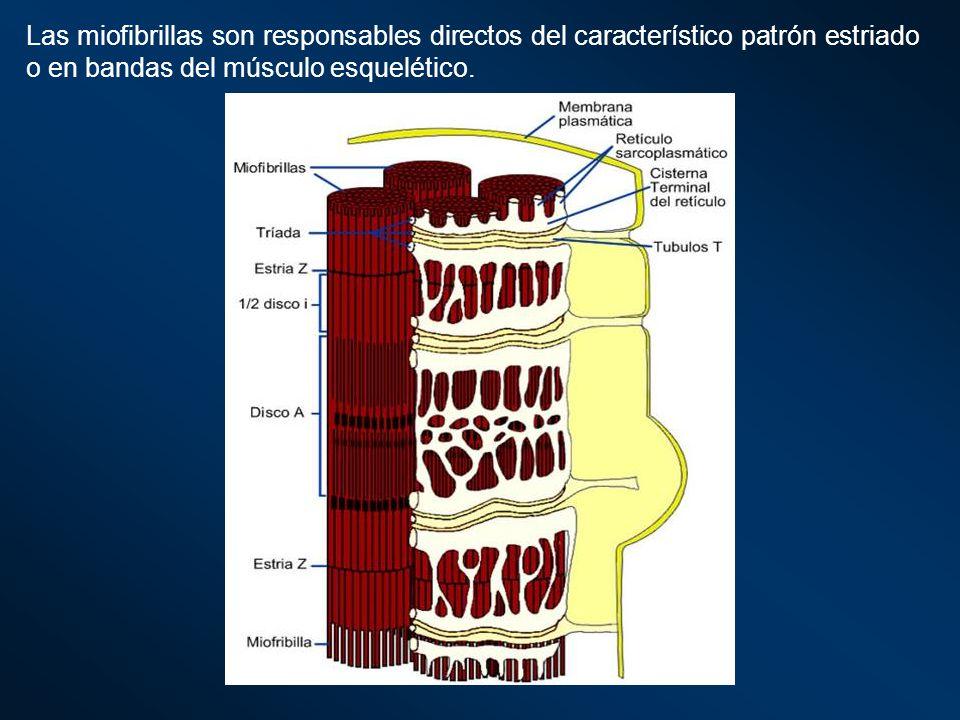 Las miofibrillas son responsables directos del característico patrón estriado o en bandas del músculo esquelético.