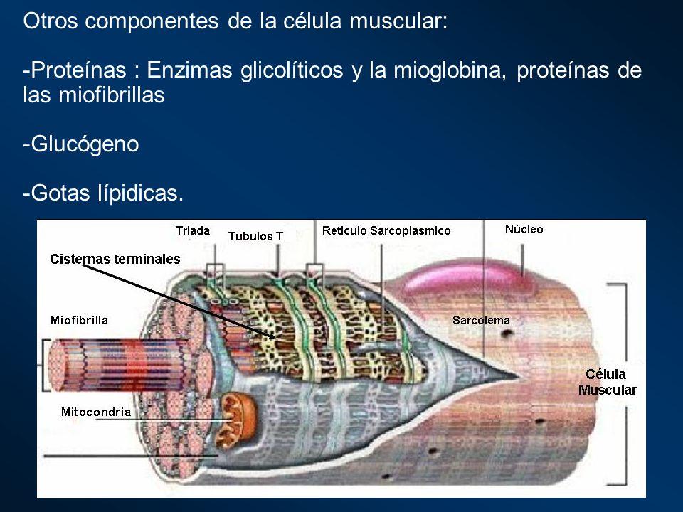 Otros componentes de la célula muscular: -Proteínas : Enzimas glicolíticos y la mioglobina, proteínas de las miofibrillas -Glucógeno -Gotas lípidicas.