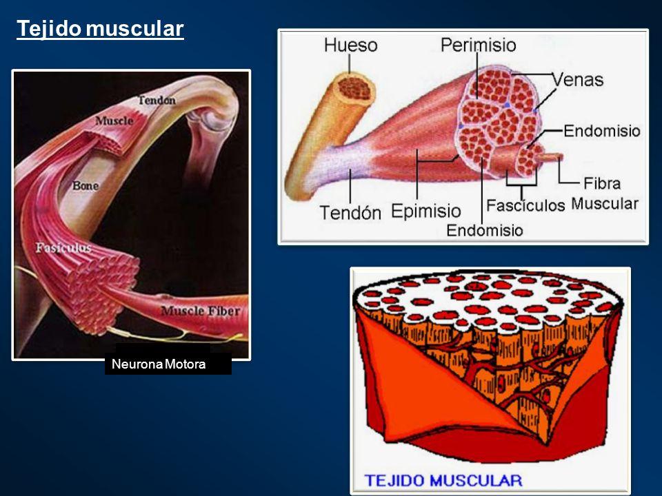 Las fibras musculares se acomodan y mantienen en su lugar por medio de componentes del tejido conectivo (¿función?) que actuan como envolturas y divisoras.