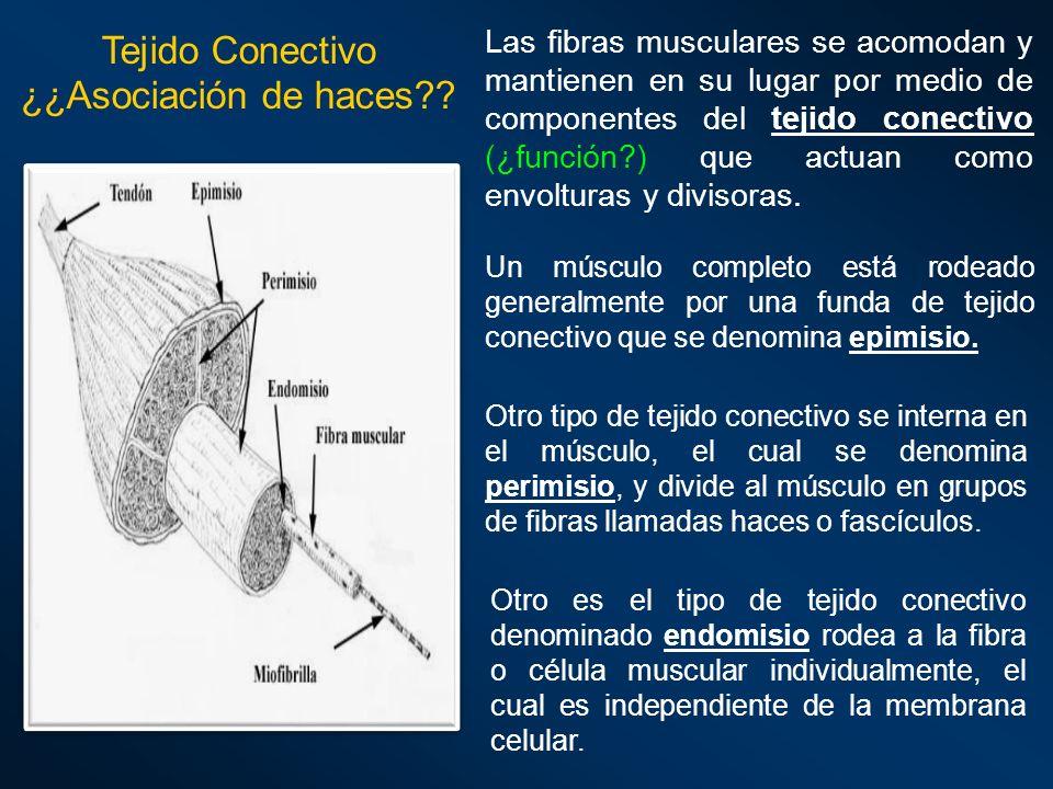 Las fibras musculares se acomodan y mantienen en su lugar por medio de componentes del tejido conectivo (¿función?) que actuan como envolturas y divis