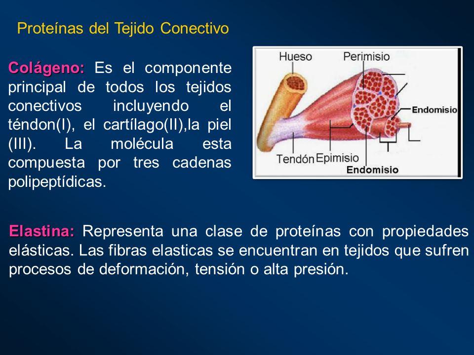 Proteínas del Tejido Conectivo Colágeno: Colágeno: Es el componente principal de todos los tejidos conectivos incluyendo el téndon(I), el cartílago(II