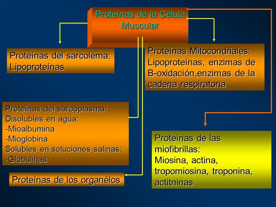 Proteínas de la Célula Muscular Proteínas del sarcolema: Lipoproteínas. Proteínas Mitocondriales: Lipoproteínas, enzimas de B-oxidación,enzimas de la