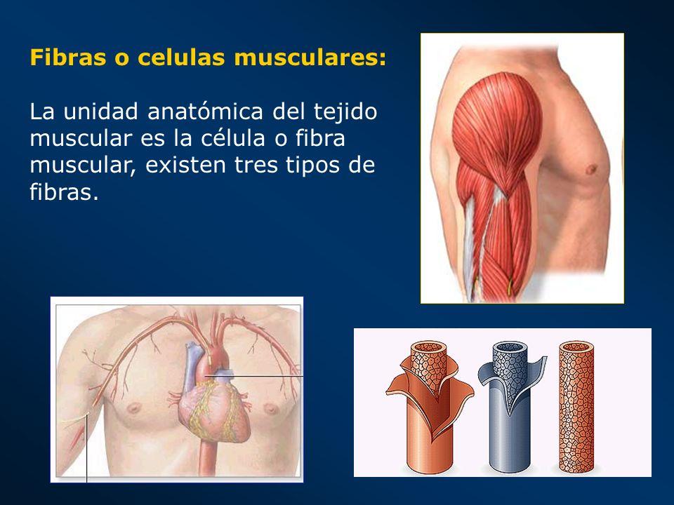 Fibras o celulas musculares: La unidad anatómica del tejido muscular es la célula o fibra muscular, existen tres tipos de fibras.