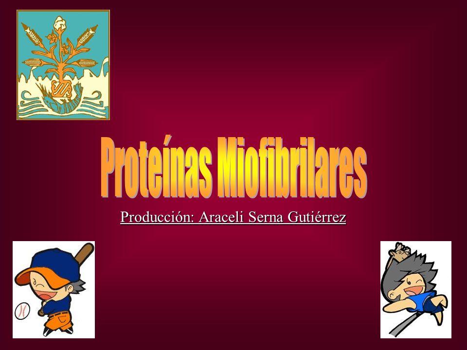 Proteínas Miofibrilares Actina Miosina Célula muscular Miofibrilla Miosina: Es la proteína contractil principal de los músculos.