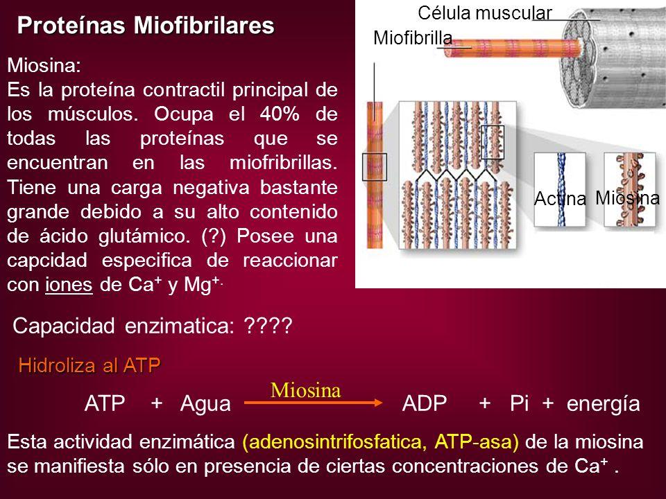 Proteínas Miofibrilares Actina Miosina Célula muscular Miofibrilla Miosina: Es la proteína contractil principal de los músculos. Ocupa el 40% de todas