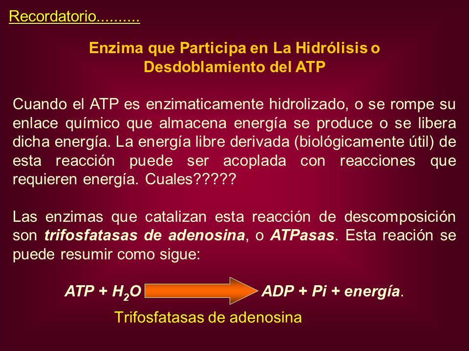Enzima que Participa en La Hidrólisis o Desdoblamiento del ATP Cuando el ATP es enzimaticamente hidrolizado, o se rompe su enlace químico que almacena