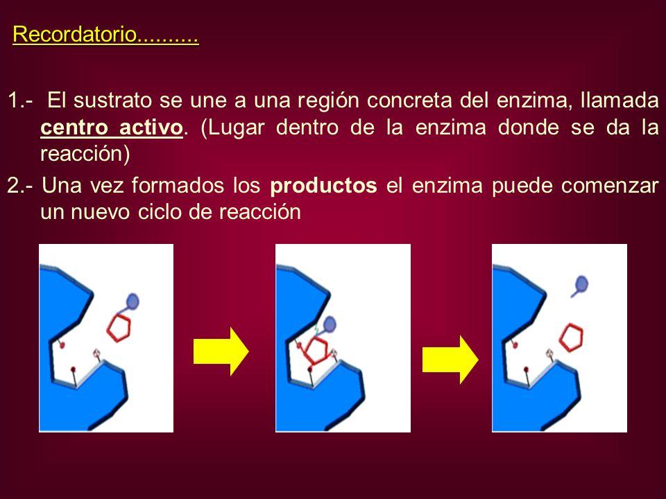 1.- El sustrato se une a una región concreta del enzima, llamada centro activo. (Lugar dentro de la enzima donde se da la reacción) 2.- Una vez formad