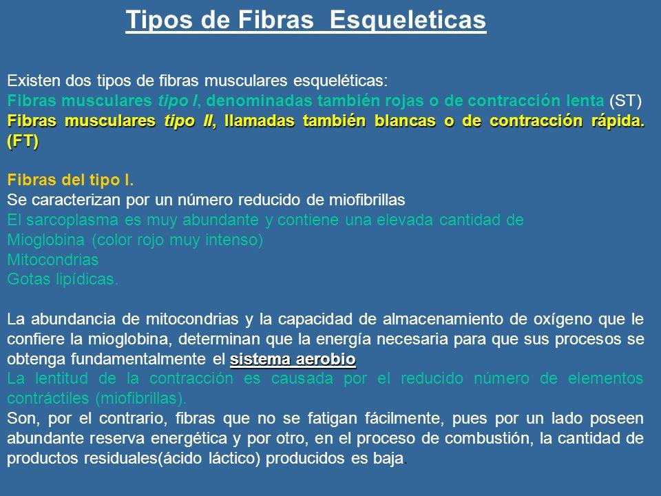Tipos de Fibras Esqueleticas Existen dos tipos de fibras musculares esqueléticas: Fibras musculares tipo I, denominadas también rojas o de contracción lenta (ST) Fibras musculares tipo II, llamadas también blancas o de contracción rápida.