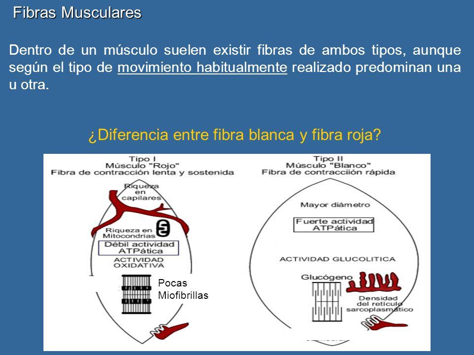 Dentro de un músculo suelen existir fibras de ambos tipos, aunque según el tipo de movimiento habitualmente realizado predominan una u otra.