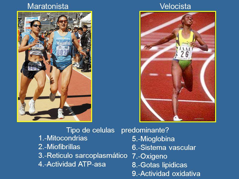 MaratonistaVelocista 1.-Mitocondrias 2.-Miofibrillas 3.-Reticulo sarcoplasmático 4.-Actividad ATP-asa 5.-Mioglobina 6.-Sistema vascular 7.-Oxigeno 8.-Gotas lipidicas 9.-Actividad oxidativa Tipo de celulas predominante?