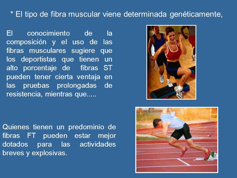 * El tipo de fibra muscular viene determinada genéticamente, El conocimiento de la composición y el uso de las fibras musculares sugiere que los deportistas que tienen un alto porcentaje de fibras ST pueden tener cierta ventaja en las pruebas prolongadas de resistencia, mientras que.....