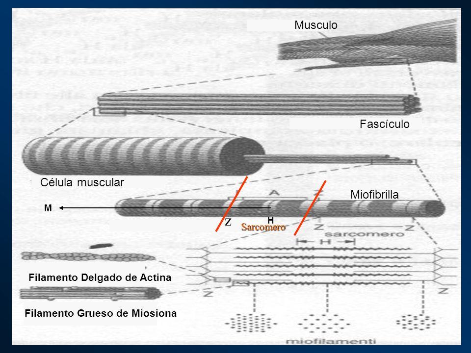 H M Musculo Fascículo Célula muscular Miofibrilla Filamento Delgado de Actina Filamento Grueso de Miosiona z Sarcomero