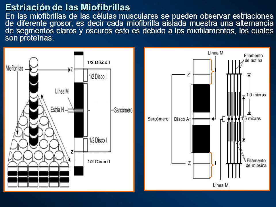 Estriación de las Miofibrillas En las miofibrillas de las células musculares se pueden observar estriaciones de diferente grosor, es decir cada miofib
