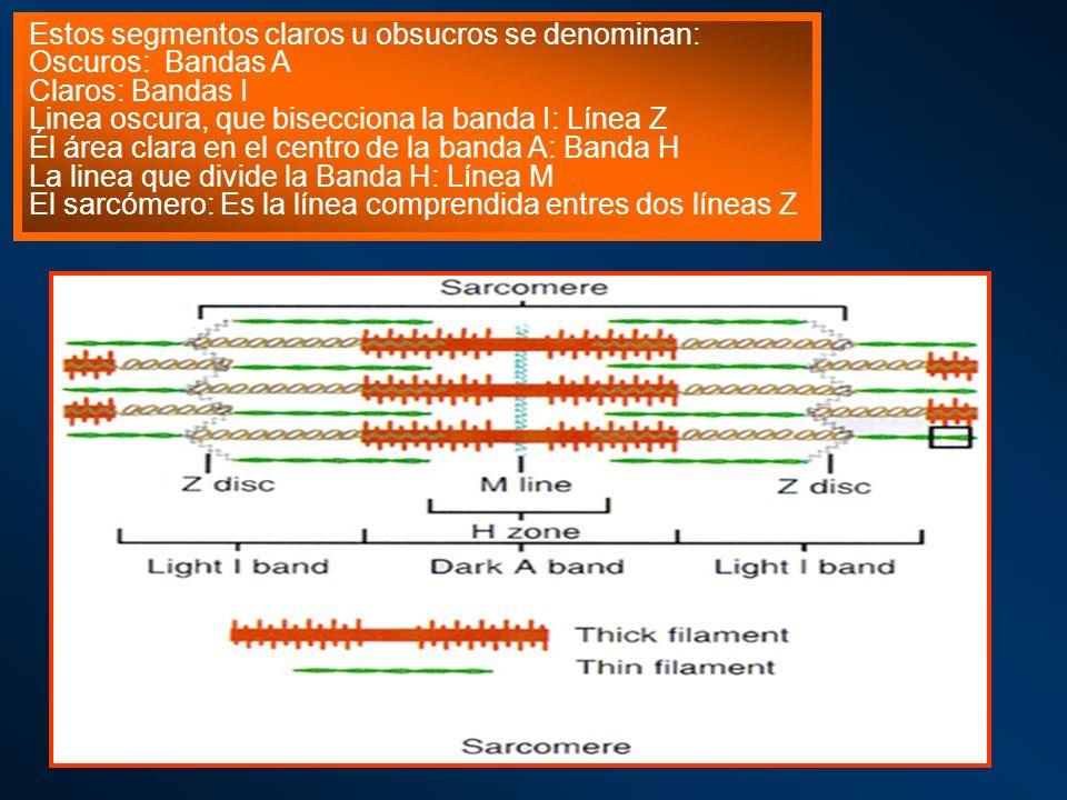Estos segmentos claros u obsucros se denominan: Oscuros: Bandas A Claros: Bandas I Linea oscura, que bisecciona la banda I: Línea Z Él área clara en e