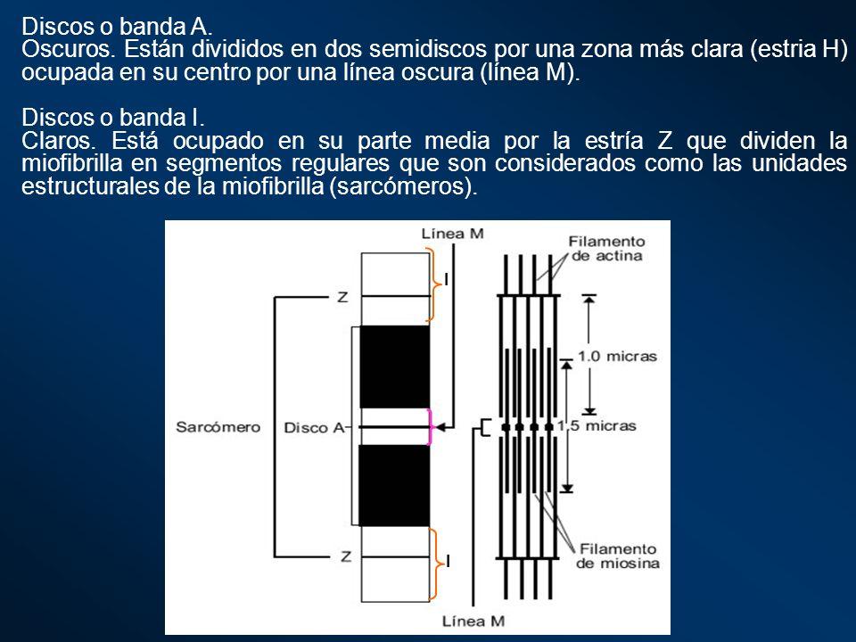 Discos o banda A. Oscuros. Están divididos en dos semidiscos por una zona más clara (estria H) ocupada en su centro por una línea oscura (línea M). Di