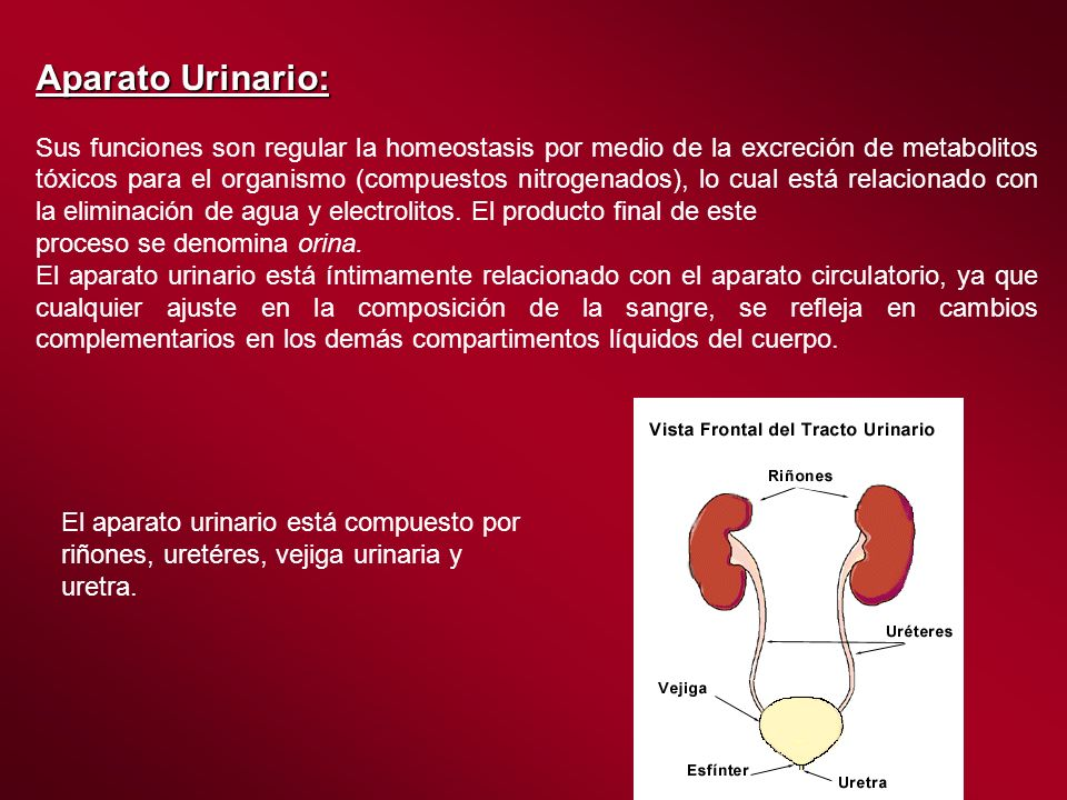 Aparato Urinario: Sus funciones son regular la homeostasis por medio de la excreción de metabolitos tóxicos para el organismo (compuestos nitrogenados