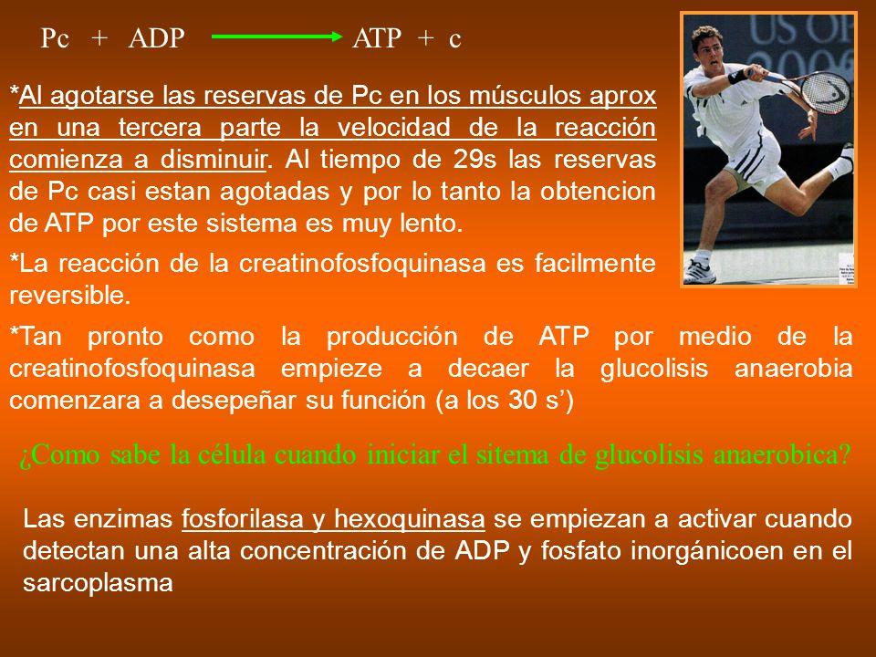 Pc + ADPATP + c *Al agotarse las reservas de Pc en los músculos aprox en una tercera parte la velocidad de la reacción comienza a disminuir. Al tiempo