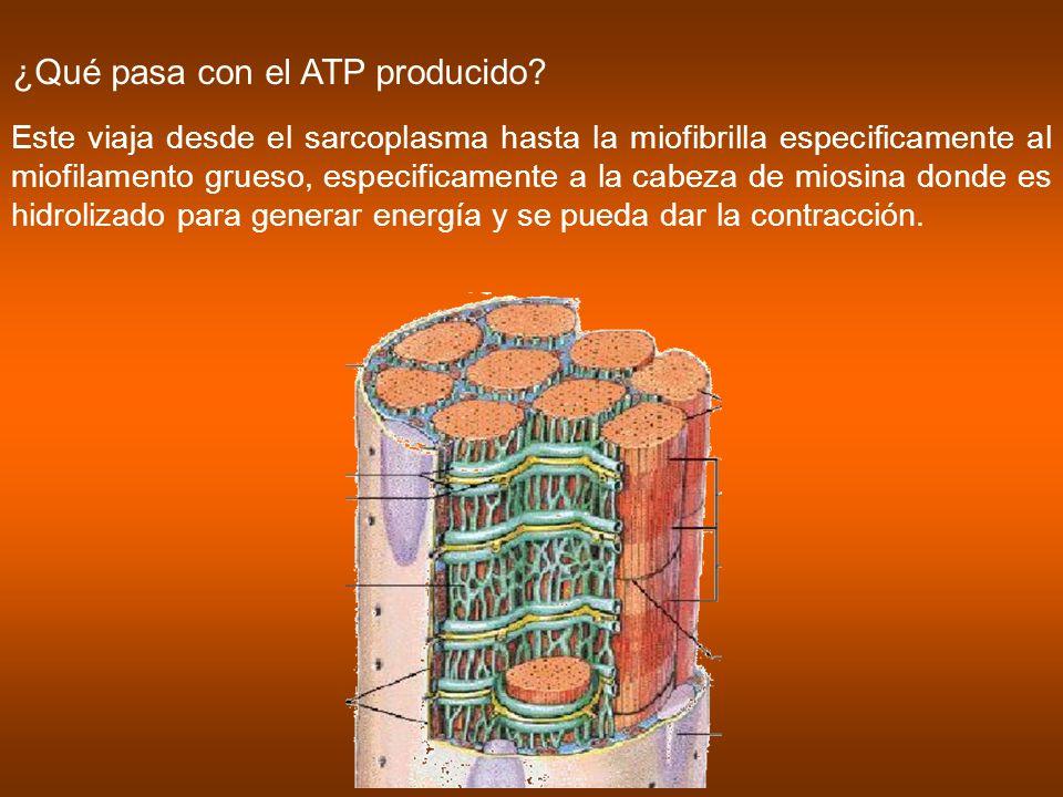 ¿Qué pasa con el ATP producido? Este viaja desde el sarcoplasma hasta la miofibrilla especificamente al miofilamento grueso, especificamente a la cabe