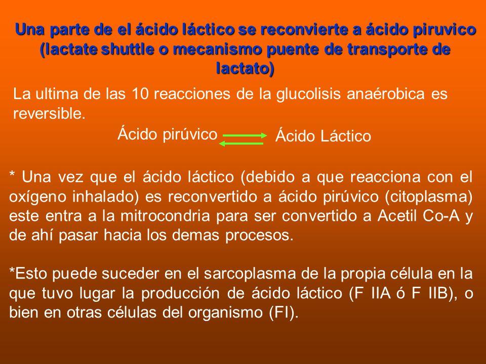 Una parte de el ácido láctico se reconvierte a ácido piruvico (lactate shuttle o mecanismo puente de transporte de lactato) La ultima de las 10 reacci