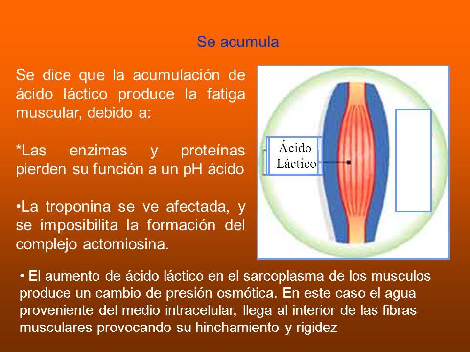 Se acumula Ácido Láctico Se dice que la acumulación de ácido láctico produce la fatiga muscular, debido a: *Las enzimas y proteínas pierden su función