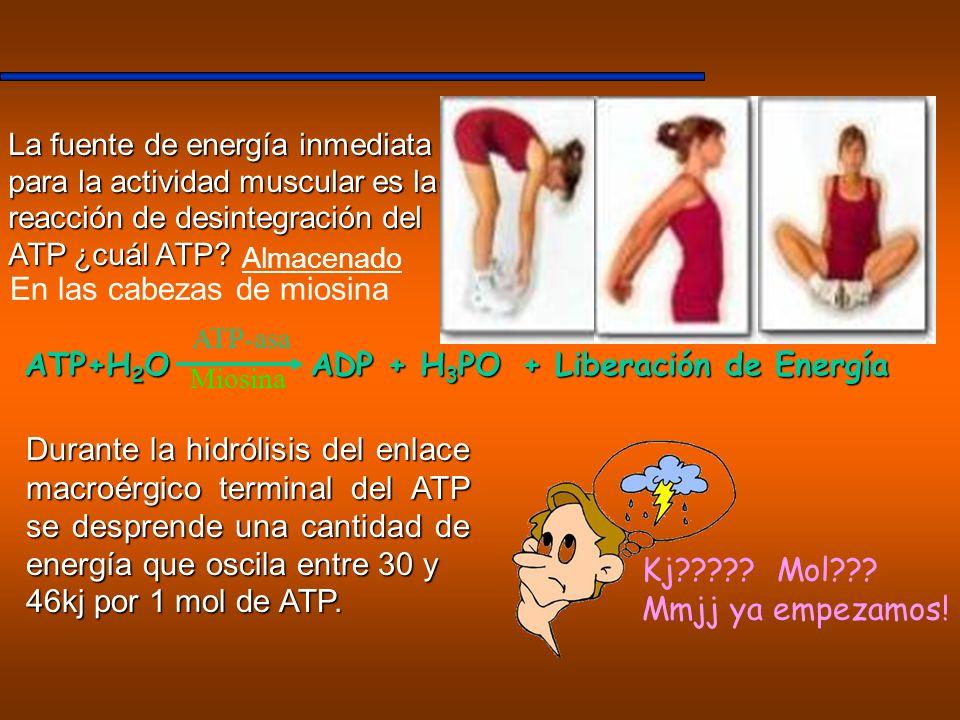 La fuente de energía inmediata para la actividad muscular es la reacción de desintegración del ATP ¿cuál ATP? Durante la hidrólisis del enlace macroér
