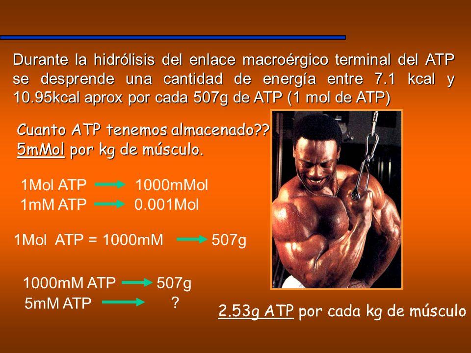 Durante la hidrólisis del enlace macroérgico terminal del ATP se desprende una cantidad de energía entre 7.1 kcal y 10.95kcal aprox por cada 507g de A