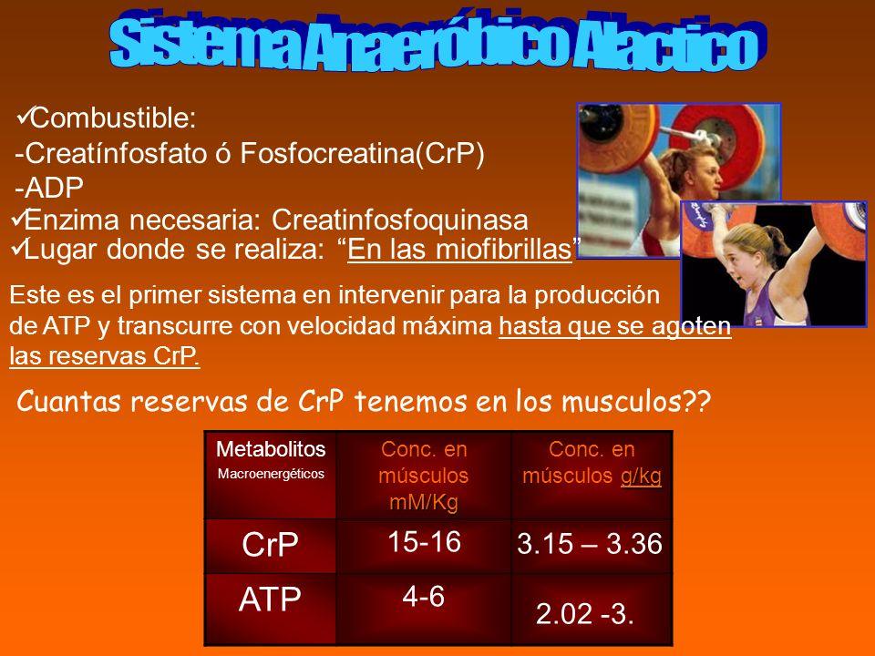 Combustible: -Creatínfosfato ó Fosfocreatina(CrP) -ADP Enzima necesaria: Creatinfosfoquinasa Este es el primer sistema en intervenir para la producció
